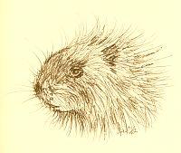 porcupine head alb