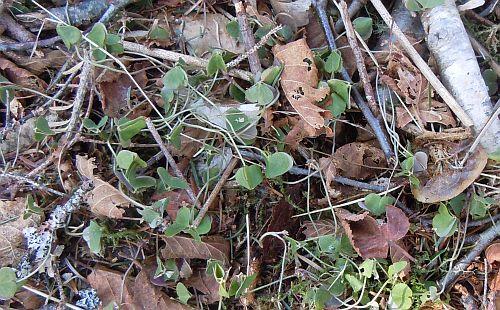 shamrocks or wood sorrel