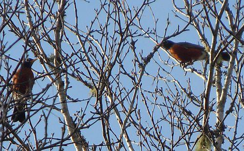 spring robins