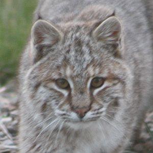 Bobcat Head