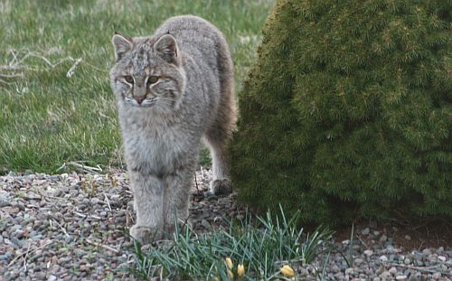 Bobcat in Cow Bay