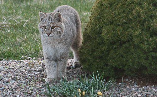 Bobcat in Cow Bay