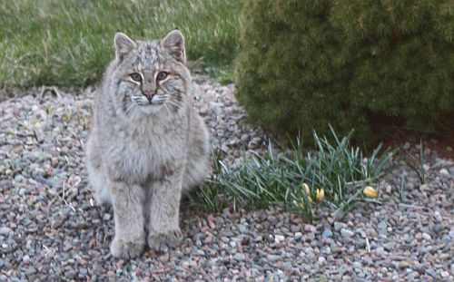 Bobcat in the Yard