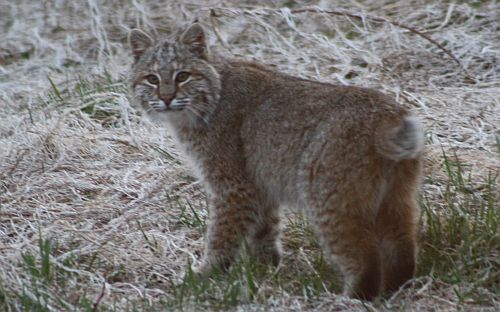 Nova Scotia Bobcat