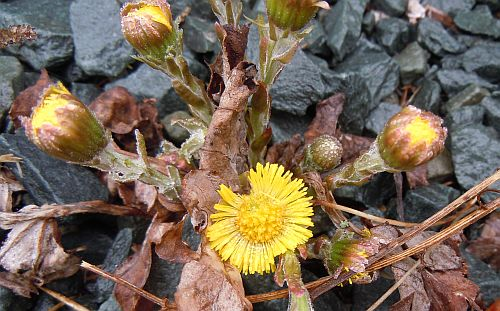 coltsfoot in bloom
