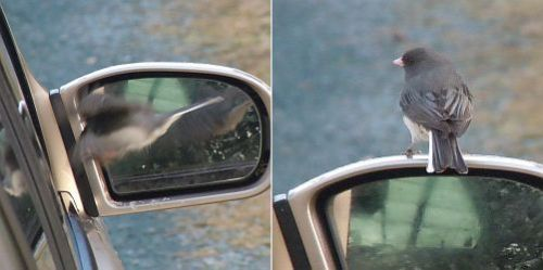 junco attacking car mirror