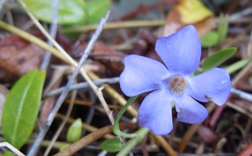 periwinkle or myrtle