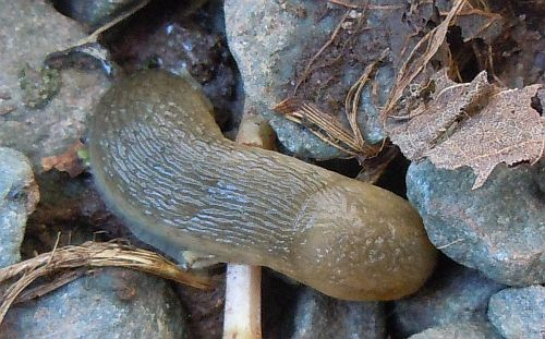 Nova Scotia slug