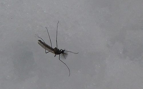 mosquito on snow