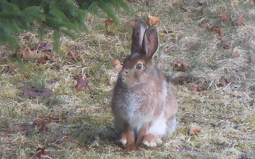 snowshoe hare in april