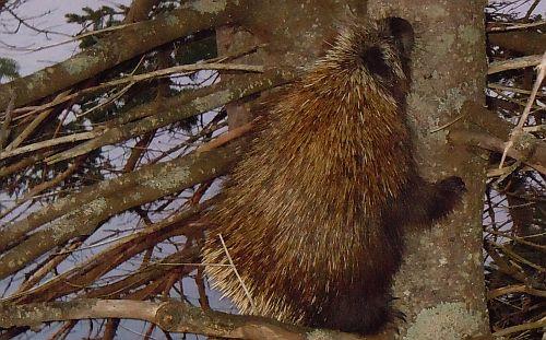 porcupine coat