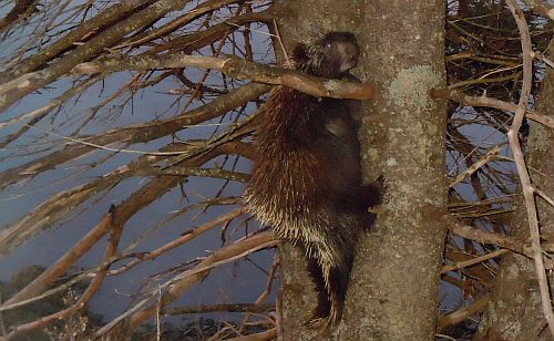 porcupine doing chin-ups