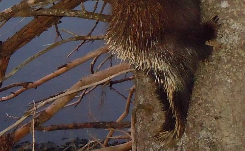 porcupine tail