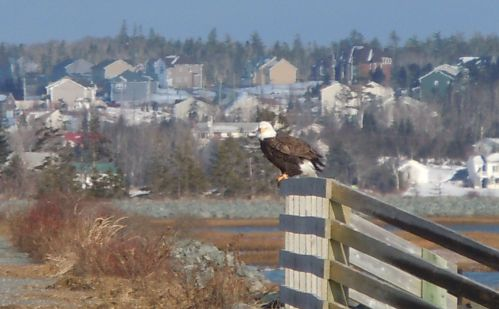 an eagle eyeing us from the bridge