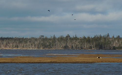 eagle flying over salt marsh