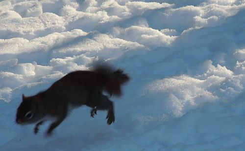 red squirrel jumping across snow