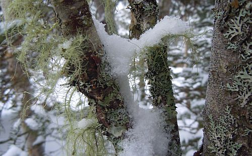 snow on lichens