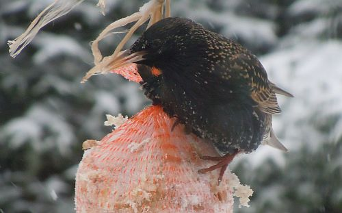sturnus vulgaris in winter
