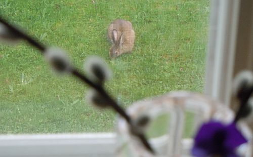 bunny seen from kitchen window