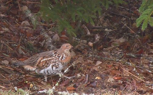 Canadian ruffed grouse