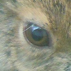hare eye