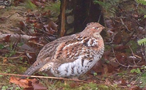 ruffed grouse rufous phase