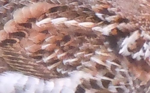 rufous ruffed grouse feathers