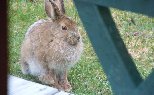 snowshoe hare next to deck