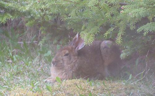 Snowshoe hare resting under fir trees next to driveway
