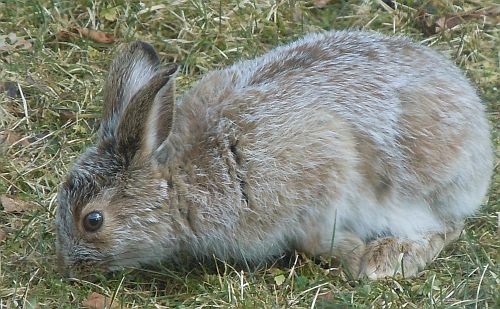 Hare with blended coat of brown and white fur in early spring