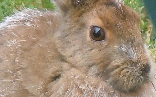 snowshoe hare up close