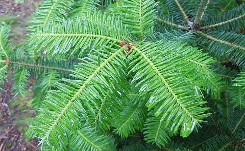 balsam fir new growth