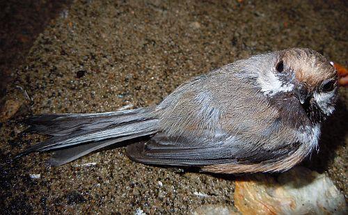 boreal chickadee chick