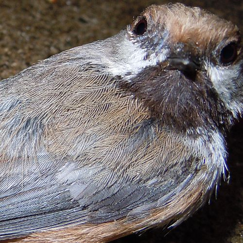 boreal chickadee face
