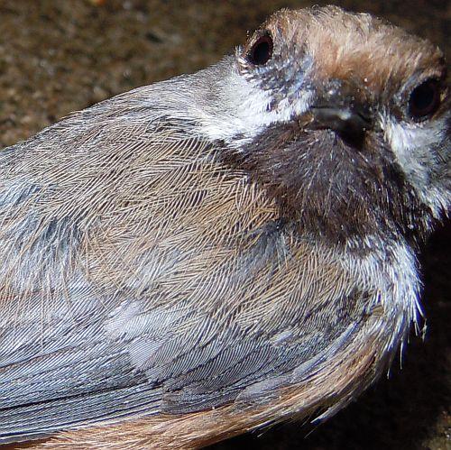 boreal chickadee face