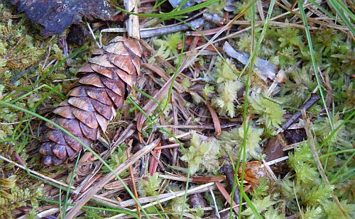 closed spruce cone in bog