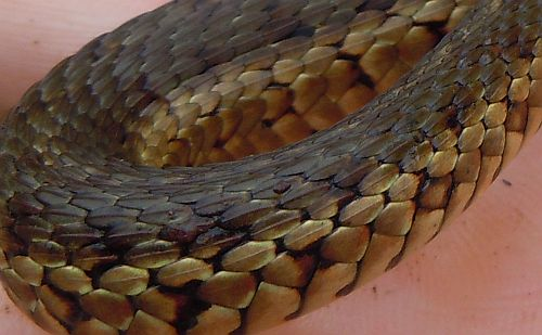 garter snake scales
