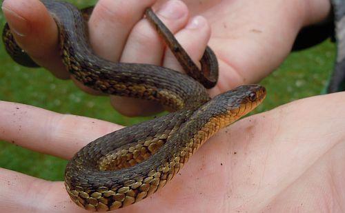 Nova Scotia garter snake