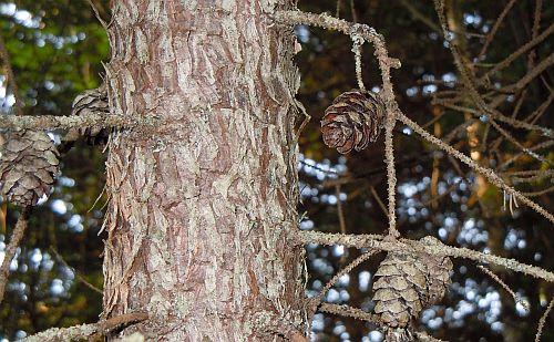 old black spruce cones