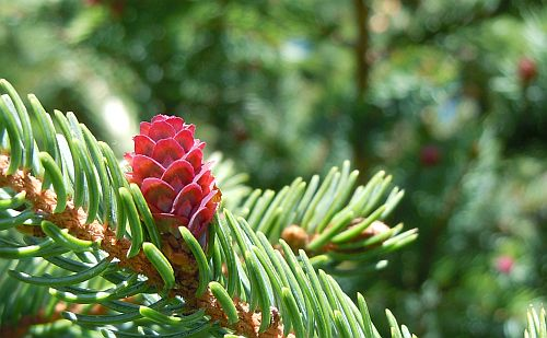 red bract scales on red spruce