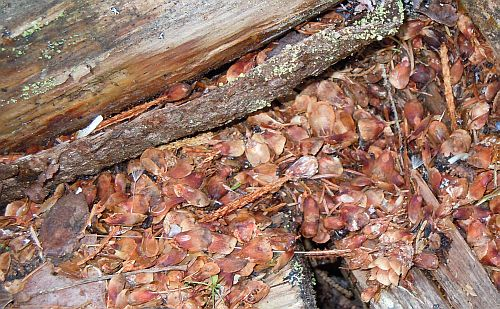 spruce cone leftovers in woodpile