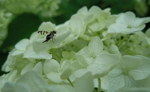 fly on hydrangea