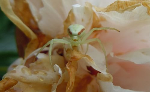 Ghost crab spider waving goodbye
