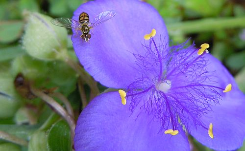 hoverfly and spiderwort