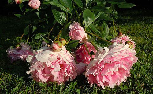 peonies falling over