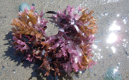 pink irish moss on shore