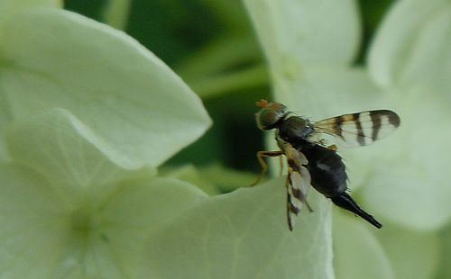 Rhagoletis fly on hydrangea