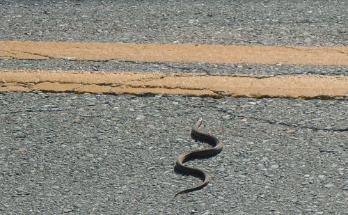 snake-crossing-cow-bay-road