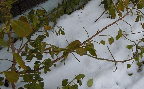 browsed euonymus