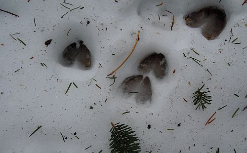 deer tracks on snow